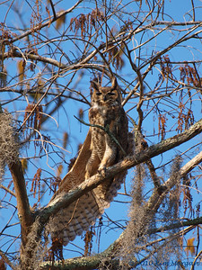 This is Poppa Great Horned Owl stretching in the warm sun.