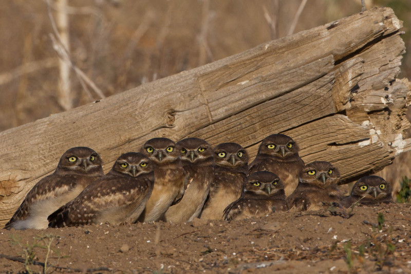 Burrowing Owl-Owlets at the den