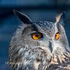 Owls-12 Nov 2016-5664