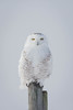 Snowy Owl on fence post