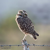 Owl On A Fence Post #2.1