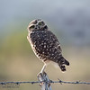 Owl On A Fence Post #2.2