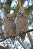 Pair of Great Horned Owl