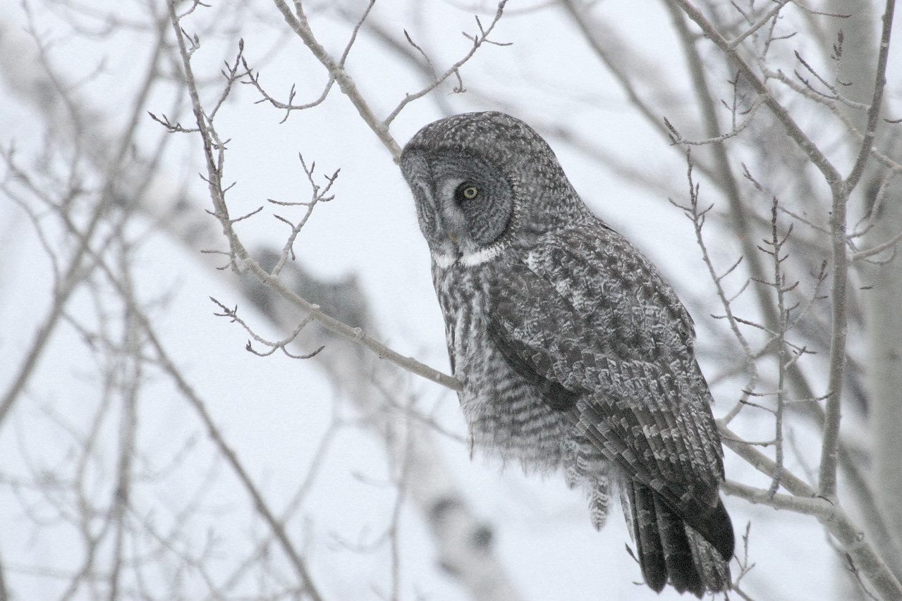OWL 0662<br /> <br /> Great Gray Owl<br /> <br /> Grand Portage, MN