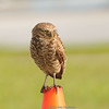 Burrowing owl, Ft. Lauderdale Airport