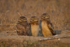 Young Burrowing Owls