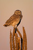 Burrowing Owl just before sunset.