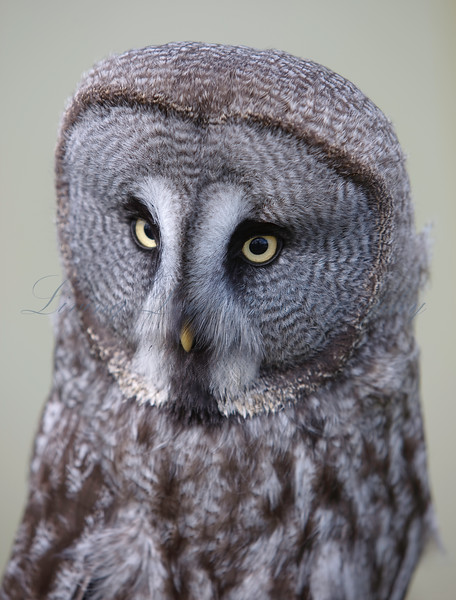 Grey Owl at rest