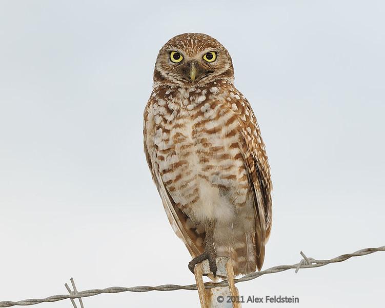 Burrowing owl, Ft. Lauderdale Airport