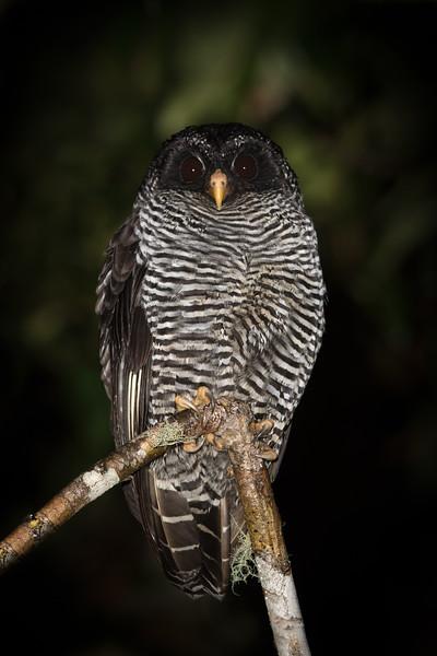 Black -bnded Owl-Ecuador