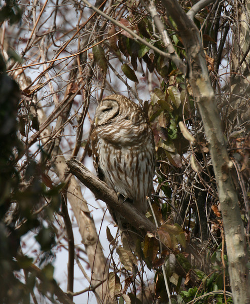Barred Owl Resting