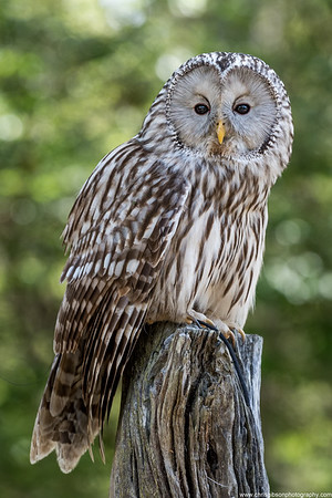 Ural Owl Perch