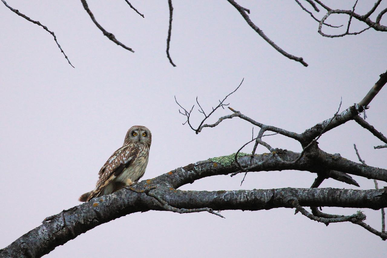 OWL 4442<br /> <br /> Owl on Old Highway 61<br /> <br /> Grand Portage, MN