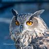 Owls-12 Nov 2016-5667