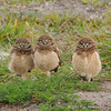 Burrowing owls, Ft. Lauderdale Airport