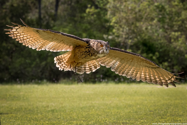Eurasian Eagle Owl In Flight