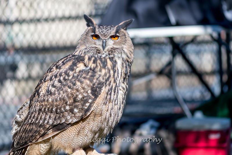 Owls-12 Nov 2016-5785