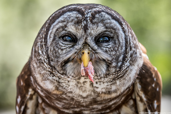 Barred Owl Snack