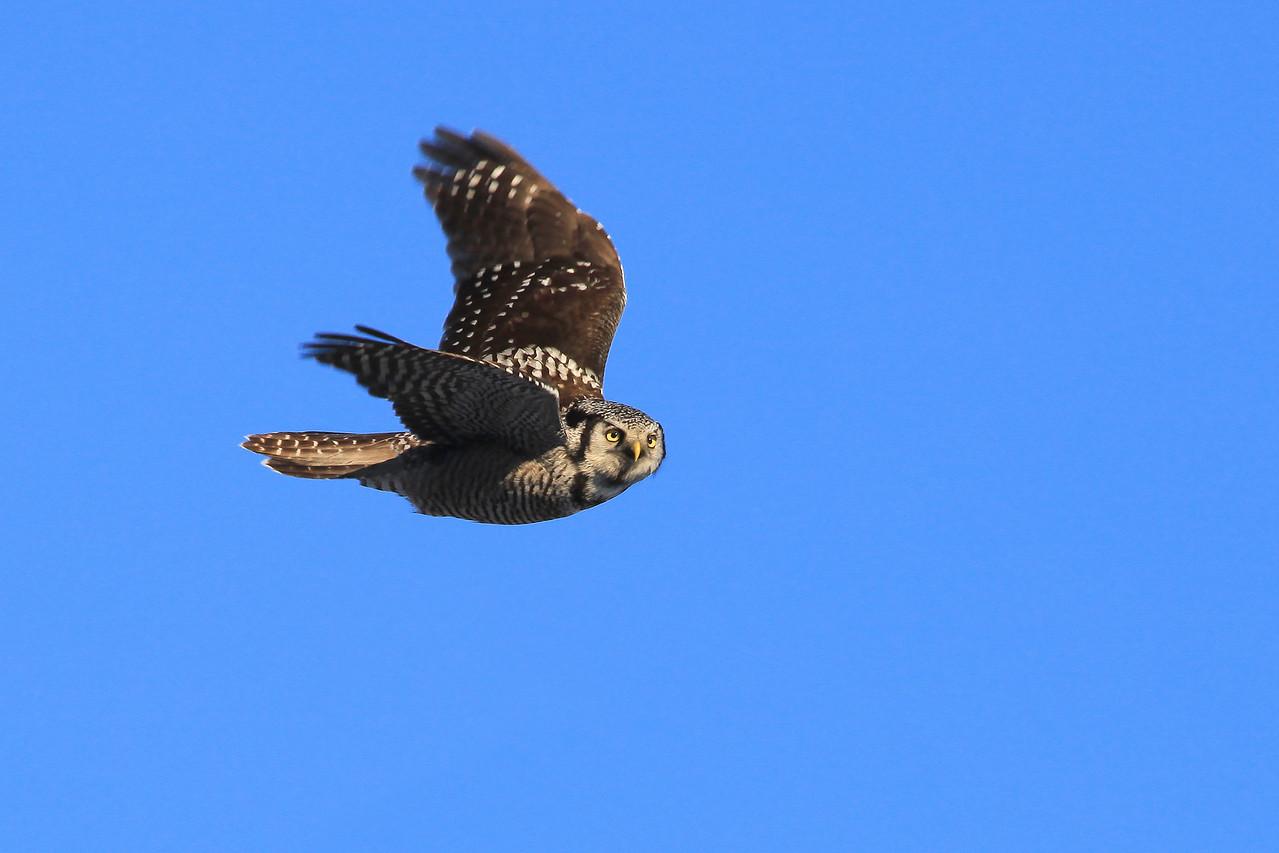 """OWL 6213<br /> <br /> """"Northern Hawk Owl in Flight""""<br /> <br /> Grand Portage, M"""