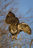 Great Horned Owl,male during mating season.