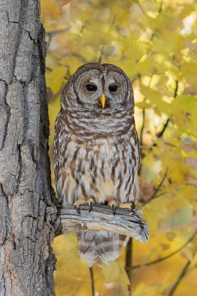 Barred Owl-captive