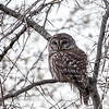 Barred-owl-12-March-2017-9429