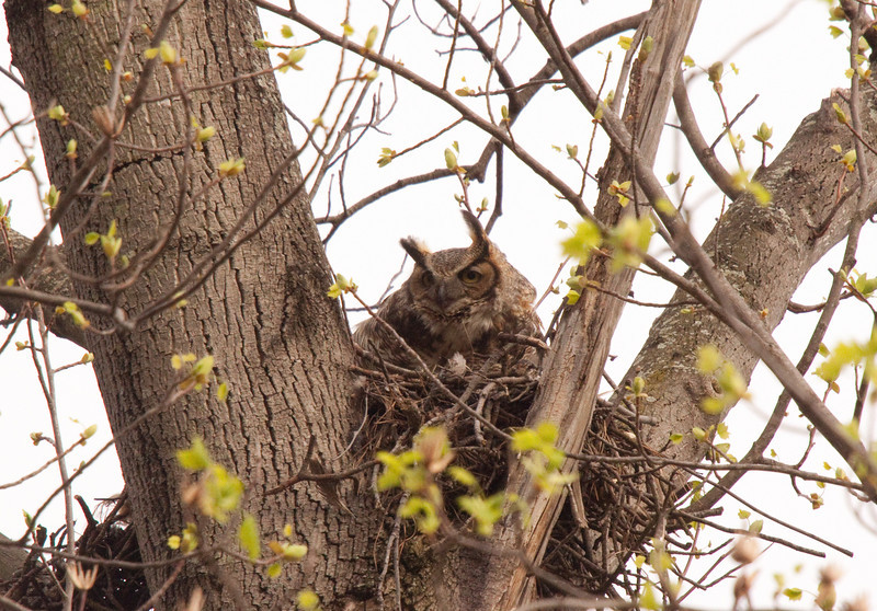 Momma Great Horned blowing in the wind