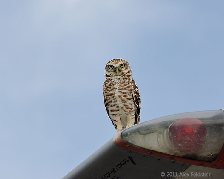 Burrowing owl, Tamiami Airport