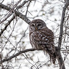 Barred-owl-12-March-2017-9433