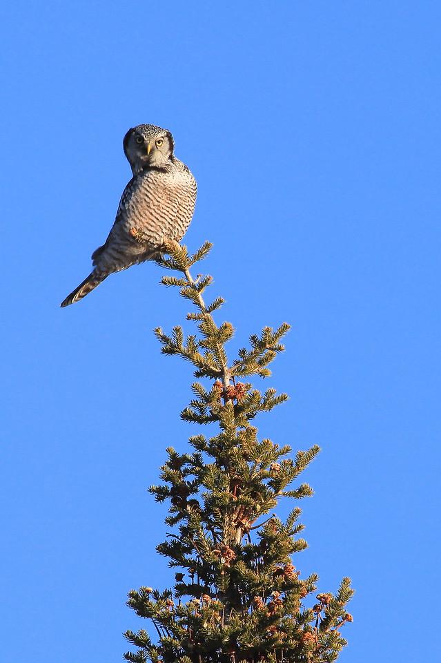 """OWL 6201<br /> <br /> """"Northern Hawk Owl""""<br /> <br /> Grand Portage, MN"""