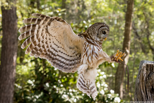 Barred Owl Landing
