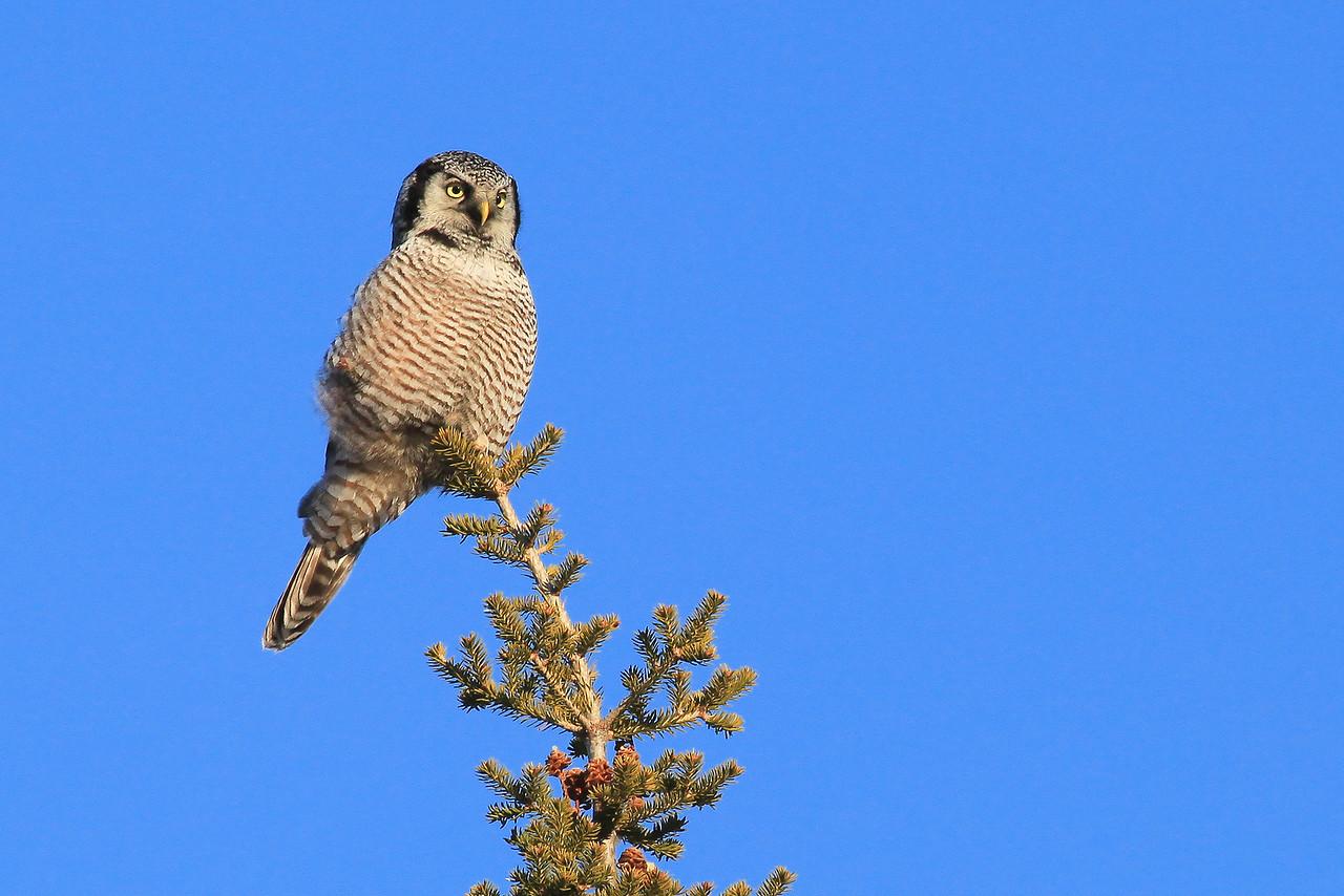 """OWL 6207<br /> <br /> """"Northern Hawk Owl""""<br /> <br /> Grand Portage, MN"""