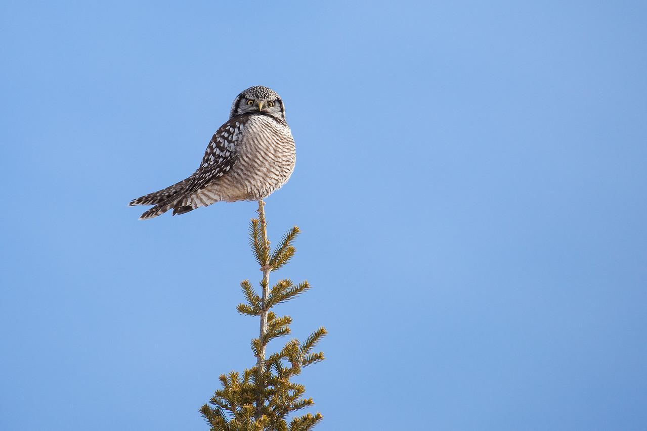 """OWL 1284<br /> <br /> """"Northern Hawk Owl""""<br /> <br /> Grand Portage, MN"""