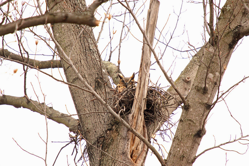 Great Horned Owl on the nest.  They don't build their own nest but steal nests.  This used to be a red shouldered hawks nest.