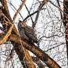 Back-yard-birds-9-March-2017-9406