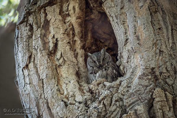 Screech Owl Above