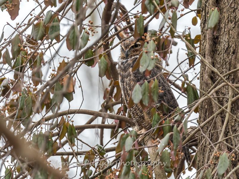 Great-Horned-Owl-5-Feb-2017-5442