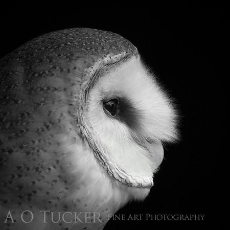 Ghost Owl Portrait