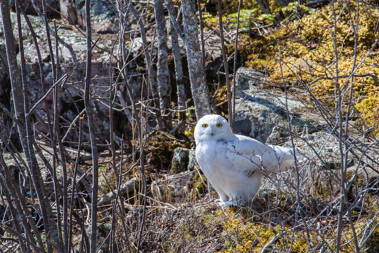 "OWL 5298<br /> <br /> ""Spring Snowy""<br /> <br /> Snowy Owl in Grand Portage on May 14, 2014"