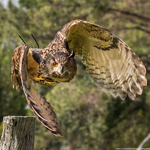 Eurasian Eagle Owl Taking Off