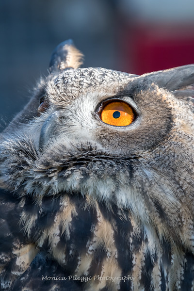 Owls-12 Nov 2016-5686