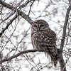 Barred-owl-12-March-2017-9431