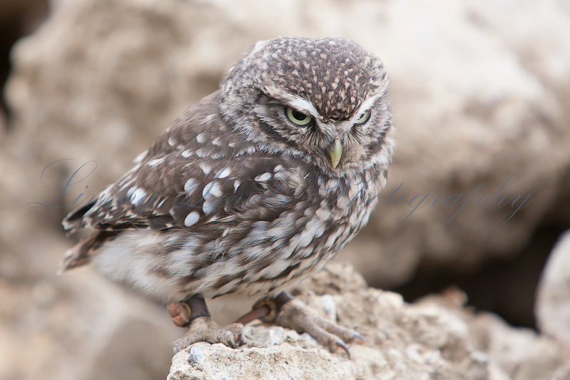 Little Owl (Athene noctua) perched on a rock at the Brisitsh Wildlife Centre