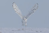 Snowy Owl-take off