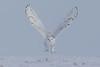 Snowy Owl-take off