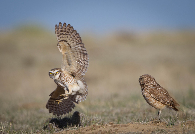 Burrowing owl,male guarding female from a challenger.