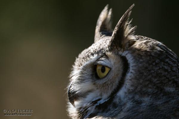 Eye Of The Great Horned Owl