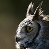 Eye Of The Great Horned Owl