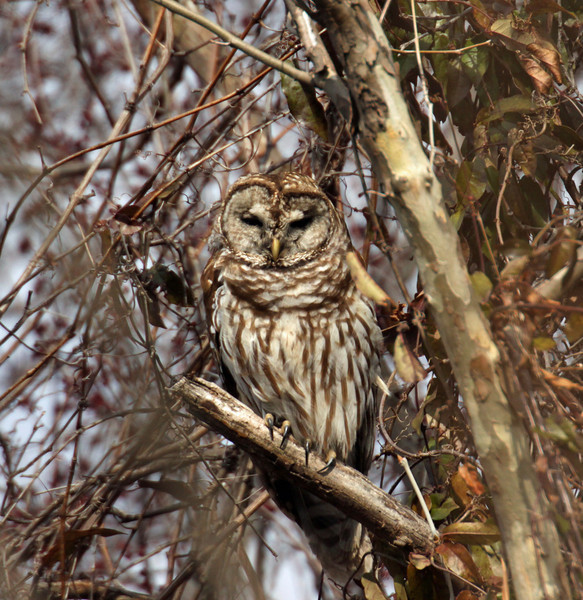 Barred Owl at Henricus Park