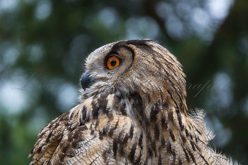 European Eagle Owl (Bubo bubo) preparing to take part in a falconry display beside Lac de Serre Ponçon in the French Alps